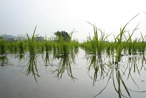 站在水裡,秧苗寶寶們精神抖擻。雖然春雨還沒有來,美濃的天空總是灰灰濛濛的,可是水鏡讓整個環境明亮了起來。圖片提供:李慧宜