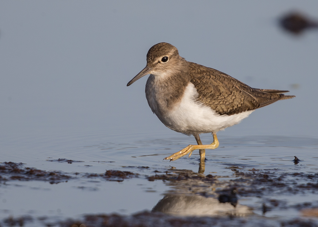 Common Sandpiper   Gambia