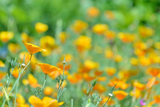 ハナビシソウ California poppy