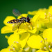 Hoverfly by boblivious