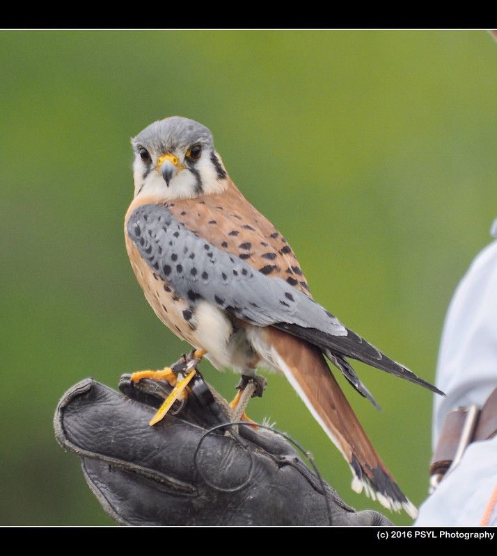 Elvis the American Kestrel (Falco sparverius)