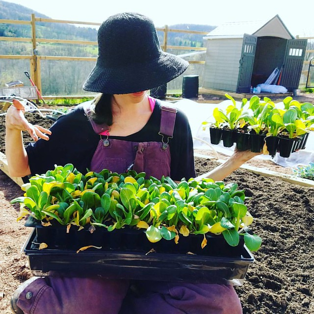 How many bok choy plants does one woman need? I'm glad you asked. 94 plants! Living #yolo in the garden! #bokchoy #brooklynfarmgirl #pandmupstateadventure