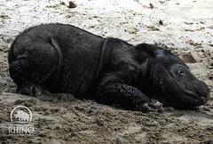 #throwbackthursday pic of the #baby #SumatranRhino #2weeksold #TeamRhino #rhino