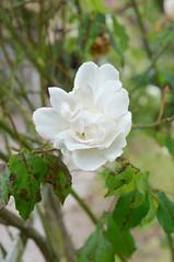 Fleur de Gerberoy