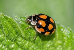 Holder10-spot Ladybird- Adalia 10-punctata