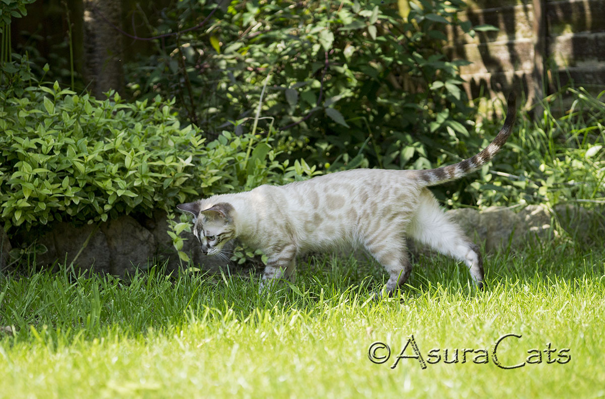 AsuraCats Shiya - Seal Lynx point Charcoal Apb/Apb Bengal cat