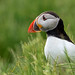 Puffin in the grass by photogramps