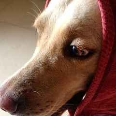 #Mummy #Scarfed #Laila today with her old towel. #Red #Scarf looks #Cute on #Labrador #Dog.