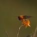 Allen's Hummingbird by Buzzie82