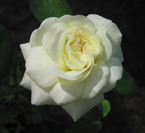 "Hybrid Tea Rose ""Sugar Moon."" by Leenechan"