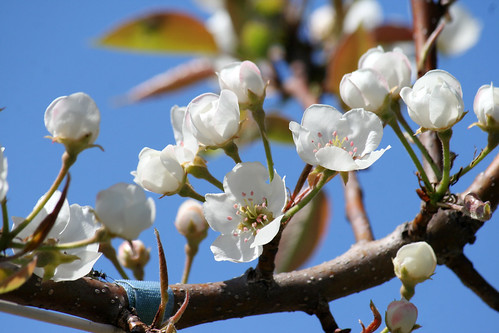 pear blossoms 014