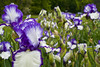 Iris season in bloom