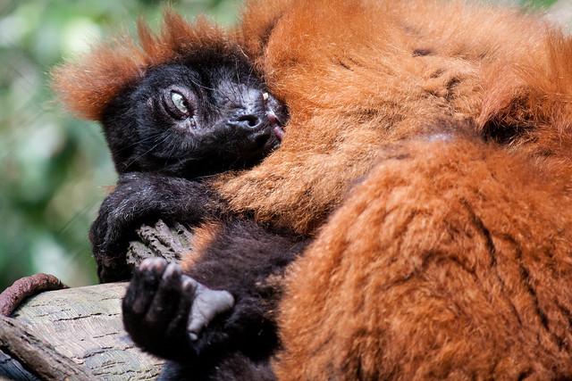 Red ruffed lemur, Bronx Zoo