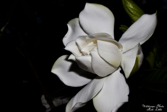 gardenia4