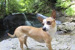 dingo(0.0), carolina dog(0.0), dog breed(1.0), animal(1.0), dog(1.0), pet(1.0), street dog(1.0), mammal(1.0), norwegian lundehund(1.0),
