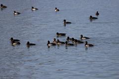 龍鑾潭度冬的候鳥。(圖片來源:墾丁國家公園管理處)