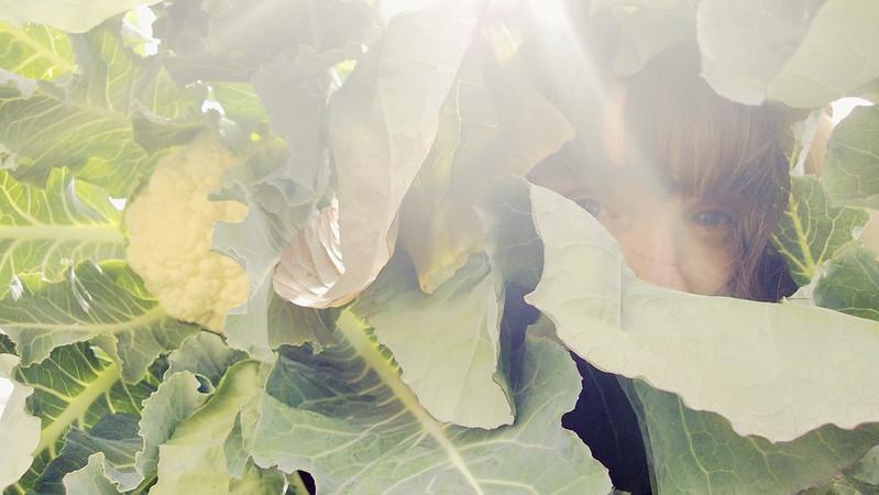 Cauliflower Harvest WP_20130611_02420130611193838