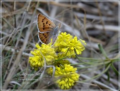 Blue Copper Colorado butterfly photography by Ron Birrell, DSC_3473