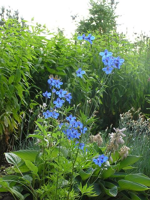 Delphinum grandiflorum 'Blauer Zwerg'