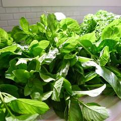 flower(0.0), malabar spinach(0.0), annual plant(1.0), plant(1.0), leaf vegetable(1.0), herb(1.0), produce(1.0), food(1.0), basil(1.0),