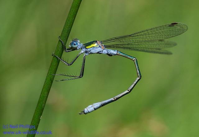 Emerald damselfly Lestes sponsa-9