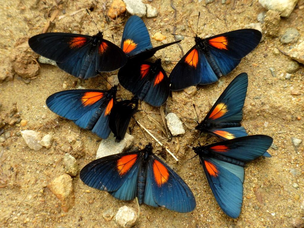 Actinote ozomene, Nymphalidae