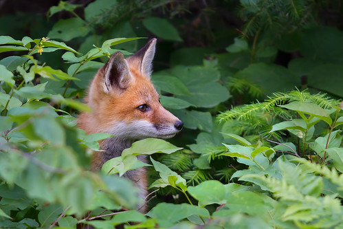 Cover is blown - Red Fox, Algonquin Park