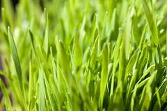 leaf, grass, plant, wheatgrass, macro photography, hierochloe, green, close-up, meadow, grassland,