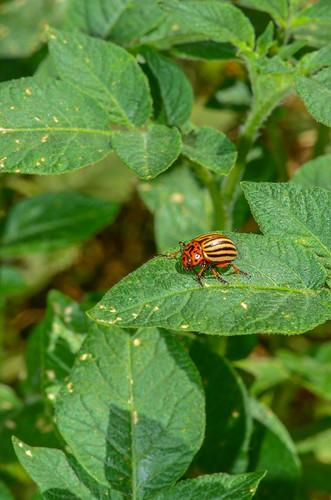 <p><i>Leptinotarsa decemlineata</i>, Chrysomelidae<br /> & <i>Solanum tuberosum</i>, Solanaceae<br /> Simon Fraser University, Burnaby, British Columbia, Canada<br /> Nikon D5100, 105 mm f/2.8<br /> August 31, 2013</p>