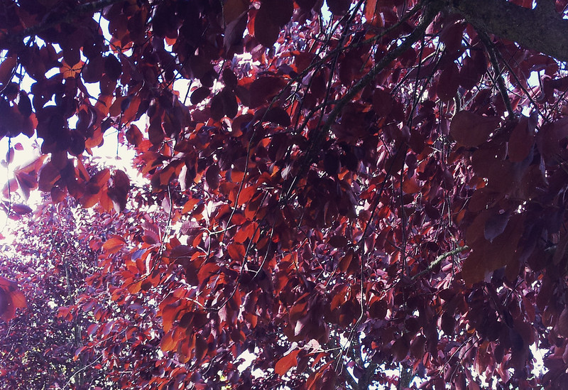 Autumn 2013 - burgundy tree