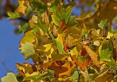 18. Oktober 2013 - 13:29 - Common names are American tulip tree, tulip poplar and yellow poplar.