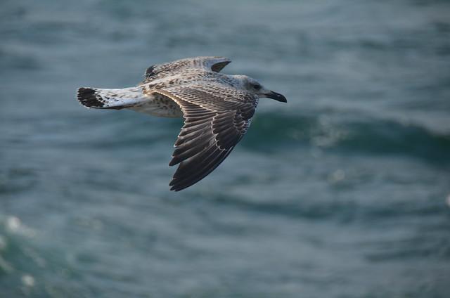 Gaviota voladora