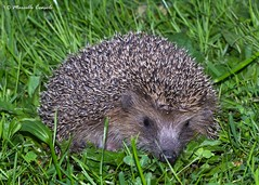 Common Hedgehog - Photo (c) Marcello Consolo, some rights reserved (CC BY-NC-SA)