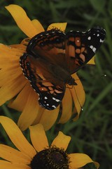 American Painted Lady on Black-eyed Susan