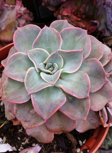 Graptoveria Coconut Ice aka Pretty in pink by Nievesgirl
