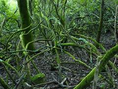 Les beaux arbousiers du vallon de Mulinelle