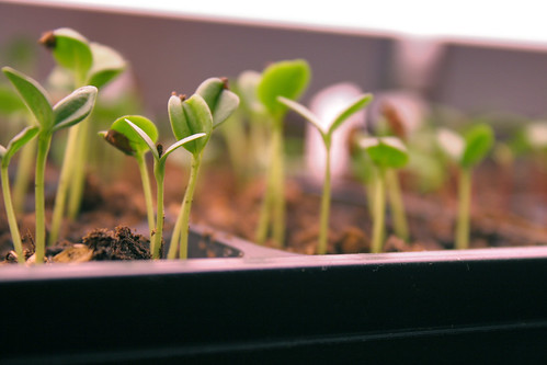 seedlings 7021