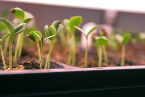 seedlings 7021