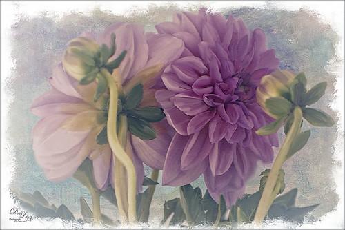 Image of two light purple dahlias