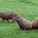Capybara at Dartmoor Zoo