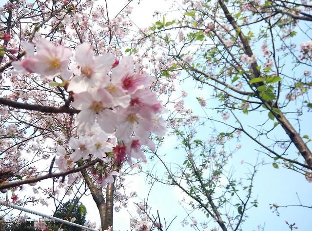 Mi3_Sakura_07