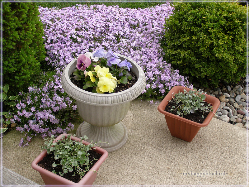 ~ phlox in my garden...