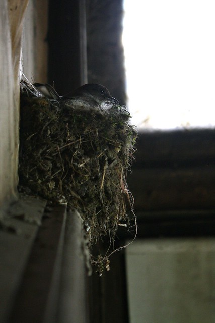 A swallow nesting above the door frame at the bottom of the stairs chirps to protect it's newly laid young.