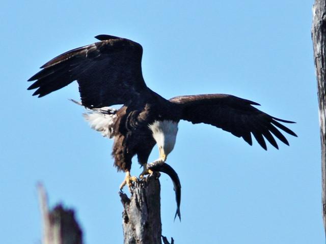 Bald Eagle female with fish 5-20150128
