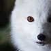 Arctic Fox Close Up