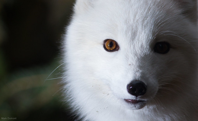 Arctic Fox Close Up Flickr Photo Sharing