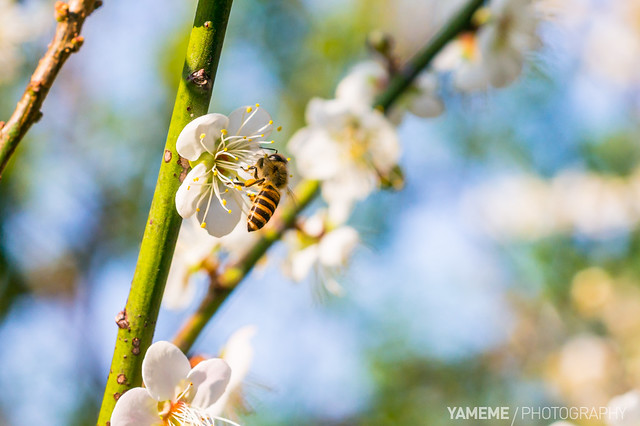 梅上採蜜 Collecting Nectar / Taipei, Taiwan