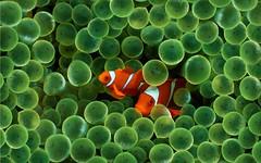 coral reef, anemone fish, coral, fish, coral reef fish, organism, marine biology, macro photography, green, close-up, underwater,