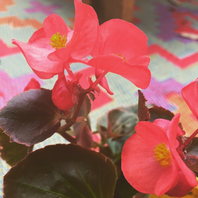 Begonias. Thankful for a simple reminder of my dear grandmother today. Take the #tthchallenge and say what you're thankful for and be sure to follow @tthofficial on IG!