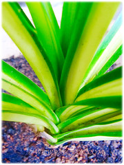 Leaves of Pandanus veitchii 'Variegata' (Variegated Dwarf Pandanus, Variegated Screw Pine, Variegated Veitch's Screw Pine) arranged in a rosette, Dec 20 2015